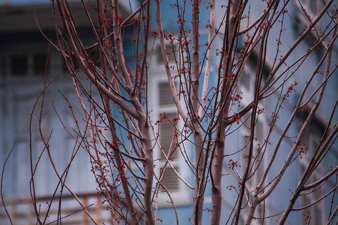 Hàng cây phong lá đỏ nảy lộc đón Tết giữa đường phố Thủ đô - 2