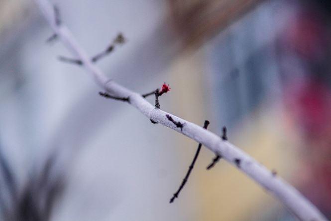 Hàng cây phong lá đỏ nảy lộc đón Tết giữa đường phố Thủ đô - 6