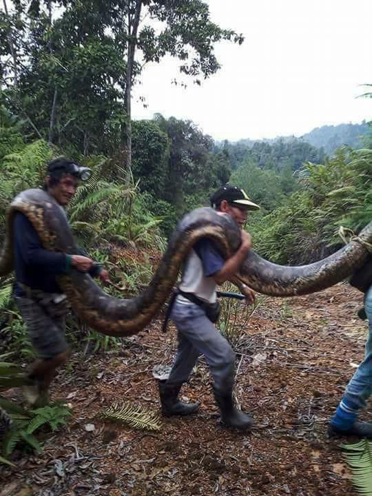 Malaysia: Bắt trăn khổng lồ nặng 1 tạ to lớn chưa từng thấy - 3