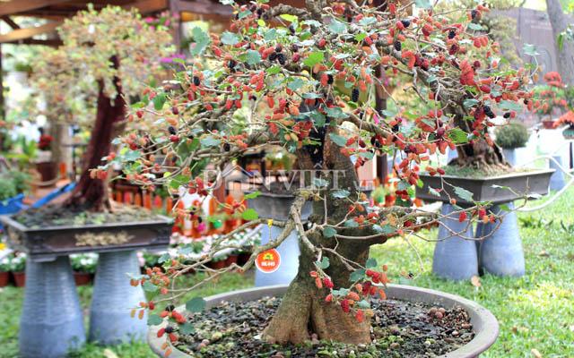 """Dàn """"người đẹp"""" bonsai dâu tằm trĩu quả khiến dân Sài thành mê mẩn - 1"""
