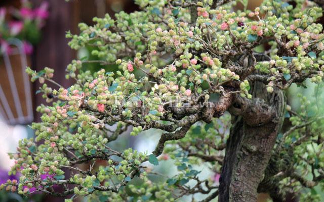 """Dàn """"người đẹp"""" bonsai dâu tằm trĩu quả khiến dân Sài thành mê mẩn - 10"""