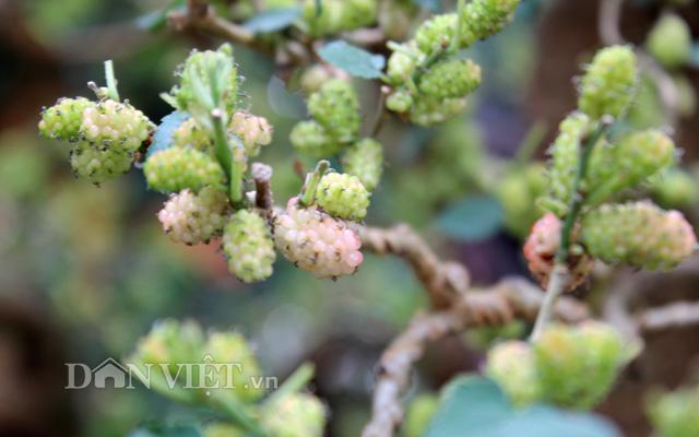 """Dàn """"người đẹp"""" bonsai dâu tằm trĩu quả khiến dân Sài thành mê mẩn - 11"""