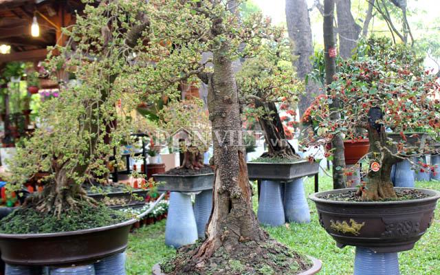 """Dàn """"người đẹp"""" bonsai dâu tằm trĩu quả khiến dân Sài thành mê mẩn - 2"""