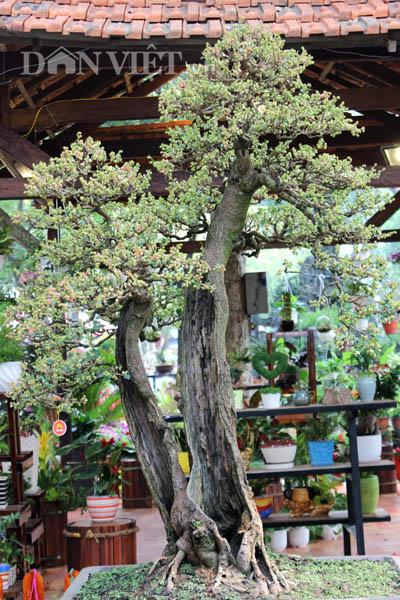 """Dàn """"người đẹp"""" bonsai dâu tằm trĩu quả khiến dân Sài thành mê mẩn - 3"""