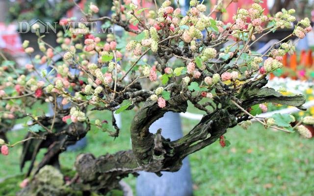 """Dàn """"người đẹp"""" bonsai dâu tằm trĩu quả khiến dân Sài thành mê mẩn - 4"""
