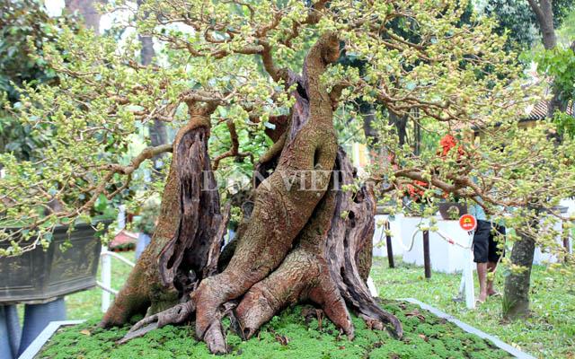 """Dàn """"người đẹp"""" bonsai dâu tằm trĩu quả khiến dân Sài thành mê mẩn - 5"""
