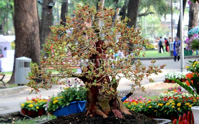 """Dàn """"người đẹp"""" bonsai dâu tằm trĩu quả khiến dân Sài thành mê mẩn - 6"""