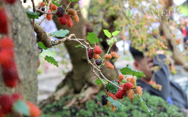 """Dàn """"người đẹp"""" bonsai dâu tằm trĩu quả khiến dân Sài thành mê mẩn - 7"""