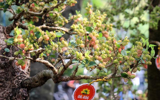 """Dàn """"người đẹp"""" bonsai dâu tằm trĩu quả khiến dân Sài thành mê mẩn - 9"""
