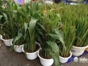 Thị trường - Tiêu dùng - Hà Nội: Ngô, lúa trổ bông vào chậu cảnh chơi Tết