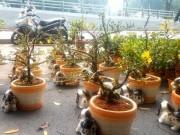 """Thị trường - Tiêu dùng - Mai bonsai """"tí hon"""" chơi Tết hút khách ở Sài Gòn"""