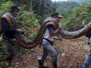 Thế giới - Malaysia: Bắt trăn khổng lồ nặng 1 tạ to lớn chưa từng thấy