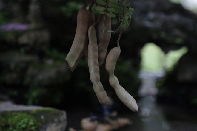 """Cây me dáng kiều nữ, ra trái xum xuê gây """"sốt"""" ở Sài Gòn - 6"""