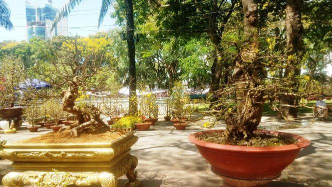 Hai cây mai trăm tuổi thế tuyệt đẹp giá gần 5 tỉ đồng ở Sài Gòn - 1