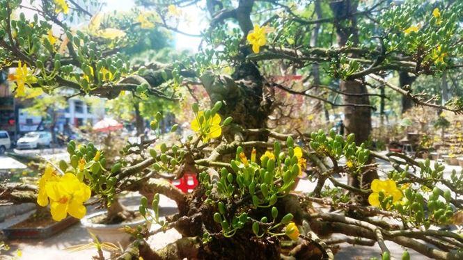 Hai cây mai trăm tuổi thế tuyệt đẹp giá gần 5 tỉ đồng ở Sài Gòn - 12