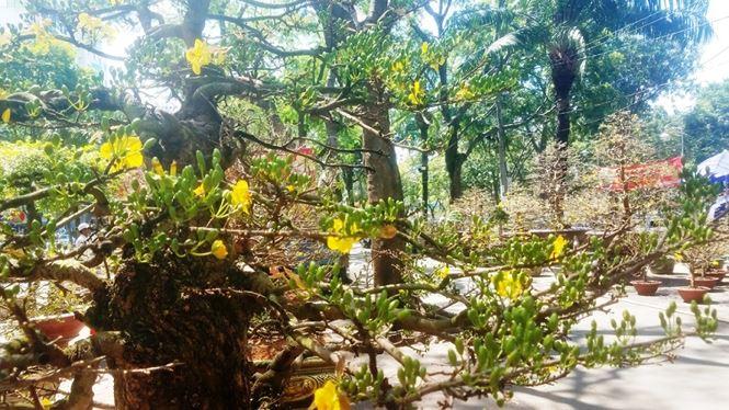 Hai cây mai trăm tuổi thế tuyệt đẹp giá gần 5 tỉ đồng ở Sài Gòn - 13