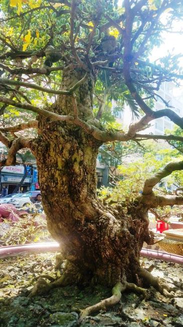 Hai cây mai trăm tuổi thế tuyệt đẹp giá gần 5 tỉ đồng ở Sài Gòn - 14