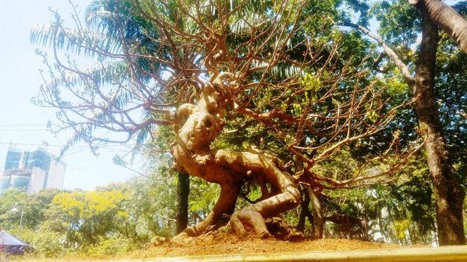 Hai cây mai trăm tuổi thế tuyệt đẹp giá gần 5 tỉ đồng ở Sài Gòn - 16