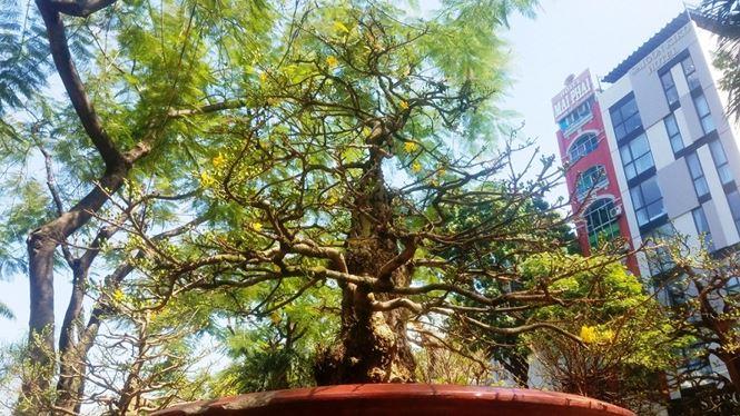 Hai cây mai trăm tuổi thế tuyệt đẹp giá gần 5 tỉ đồng ở Sài Gòn - 2