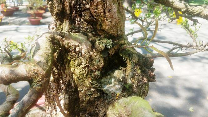 Hai cây mai trăm tuổi thế tuyệt đẹp giá gần 5 tỉ đồng ở Sài Gòn - 7