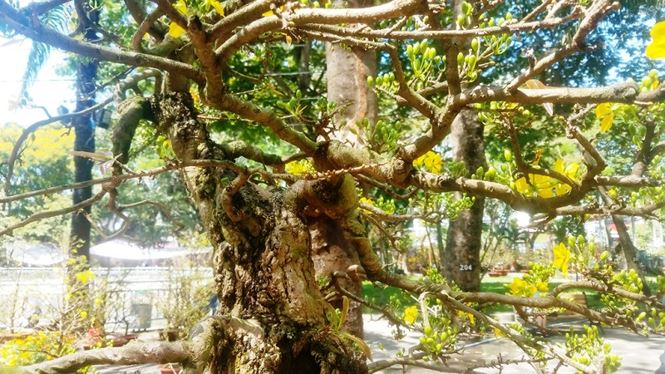 Hai cây mai trăm tuổi thế tuyệt đẹp giá gần 5 tỉ đồng ở Sài Gòn - 10