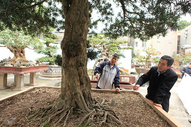 Chiêm ngưỡng cây tùng cổ, được cho là 400 năm tuổi, đắt ngang siêu xe - 2