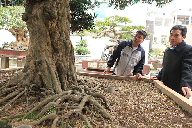 Chiêm ngưỡng cây tùng cổ, được cho là 400 năm tuổi, đắt ngang siêu xe - 3