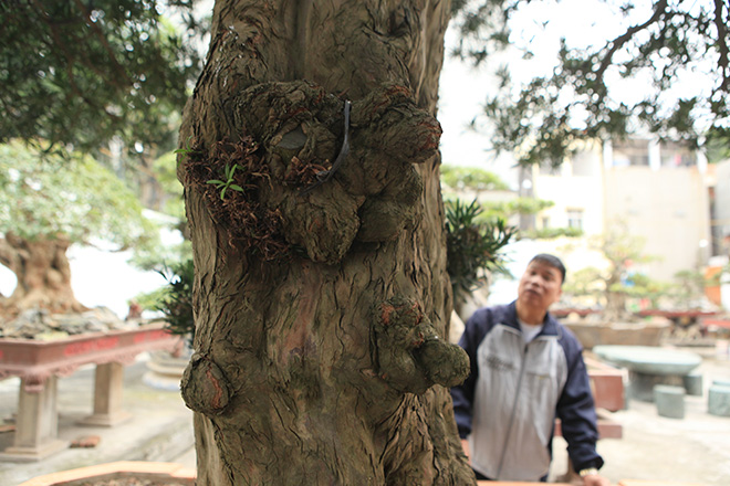 Chiêm ngưỡng cây tùng cổ, được cho là 400 năm tuổi, đắt ngang siêu xe - 6