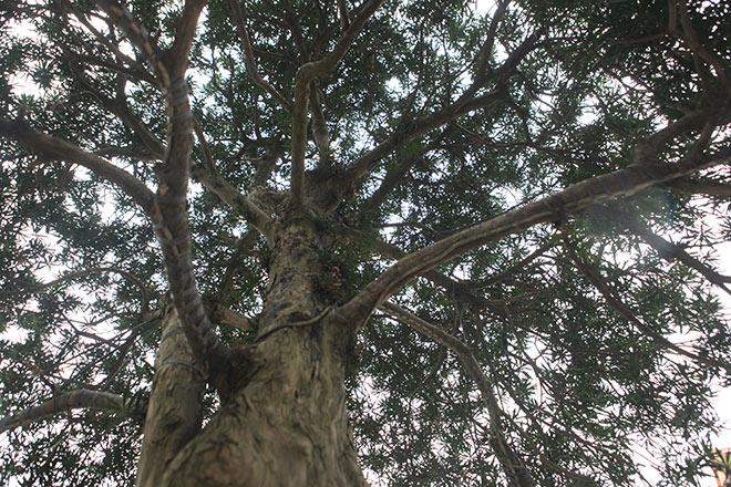 Chiêm ngưỡng cây tùng cổ, được cho là 400 năm tuổi, đắt ngang siêu xe - 4