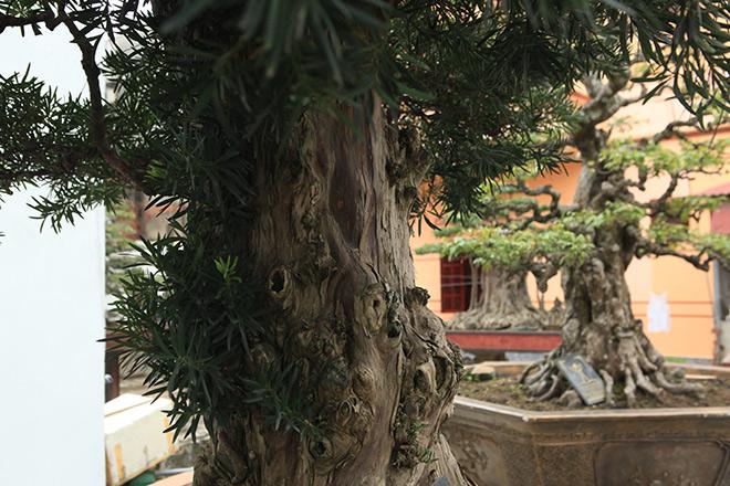 Chiêm ngưỡng cây tùng cổ, được cho là 400 năm tuổi, đắt ngang siêu xe - 9