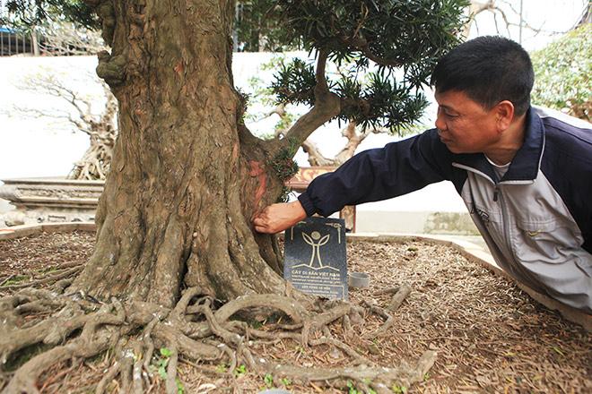 Chiêm ngưỡng cây tùng cổ, được cho là 400 năm tuổi, đắt ngang siêu xe - 5