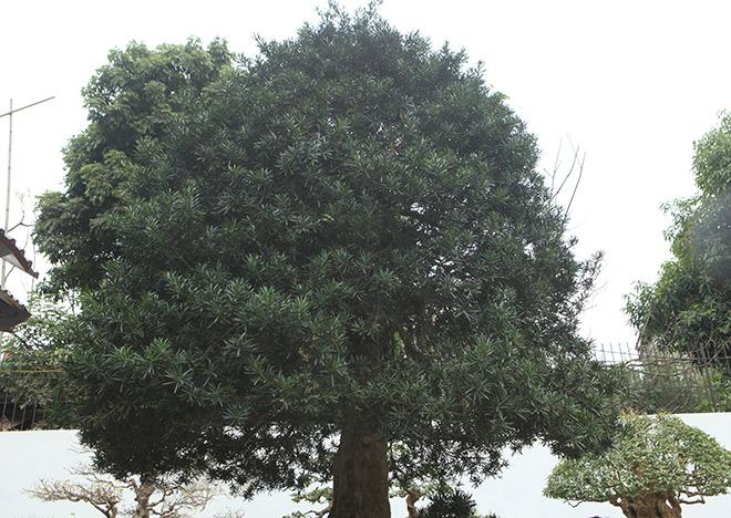 Chiêm ngưỡng cây tùng cổ, được cho là 400 năm tuổi, đắt ngang siêu xe - 7