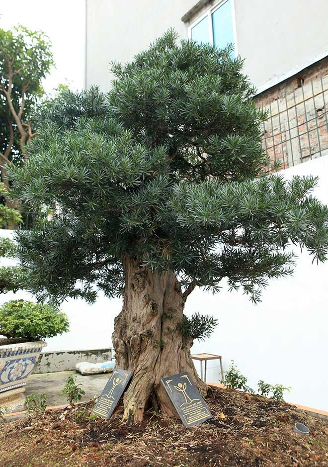 Chiêm ngưỡng cây tùng cổ, được cho là 400 năm tuổi, đắt ngang siêu xe - 8