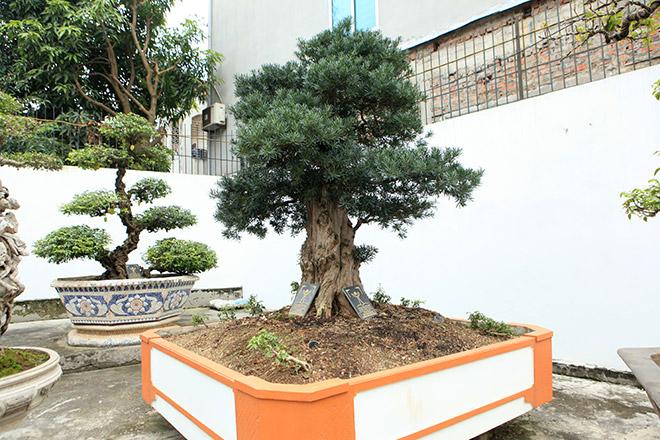 Chiêm ngưỡng cây tùng cổ, được cho là 400 năm tuổi, đắt ngang siêu xe - 11