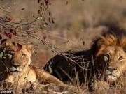 Thế giới - Thợ săn bị ăn thịt dã man ở Nam Phi: Không ngờ bị sư tử mai phục