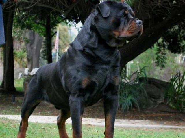 10 giống chó hung dữ nhất thế giới