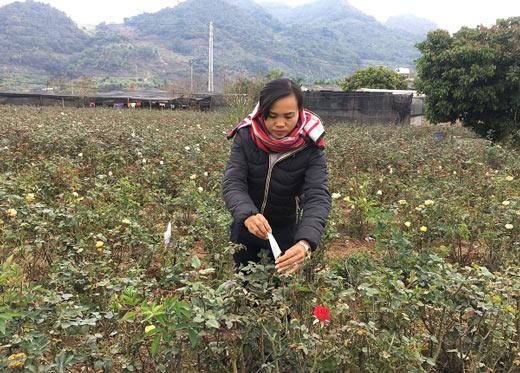 """Đầu năm, đến xông vườn của """"Nữ triệu phú"""" hoa hồng 8X ở Sơn La - 2"""