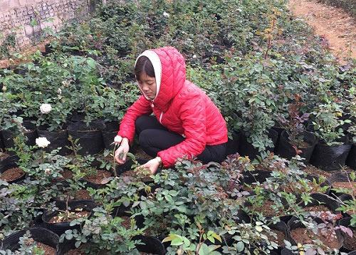 """Đầu năm, đến xông vườn của """"Nữ triệu phú"""" hoa hồng 8X ở Sơn La - 3"""
