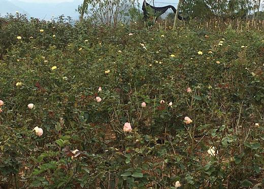 """Đầu năm, đến xông vườn của """"Nữ triệu phú"""" hoa hồng 8X ở Sơn La - 5"""