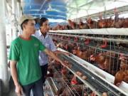 Thị trường - Tiêu dùng - Bỏ nuôi heo, theo con gà siêu trứng, anh nông dân có doanh thu 1,5 tỷ