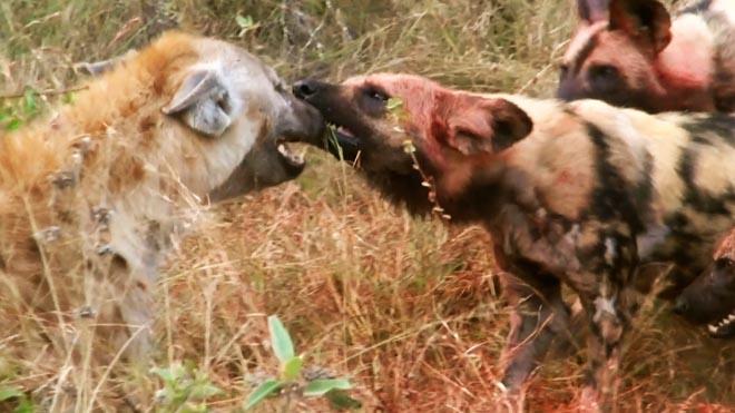 Video: Đàn chó hoang tung đòn dữ với linh cẩu dám đòi tranh phần