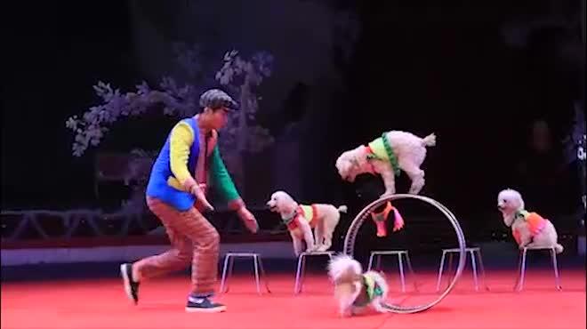 Gặp nữ diễn viên biểu diễn xiếc chó lâu nhất Việt Nam