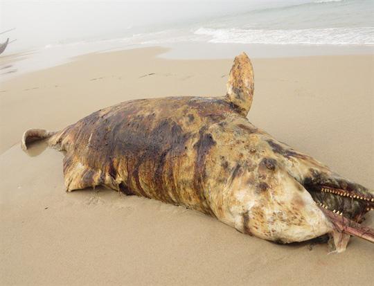 """Phát hiện 3 xác cá """"thiêng"""" chết và dạt cùng lúc vào biển Quảng Bình - 1"""