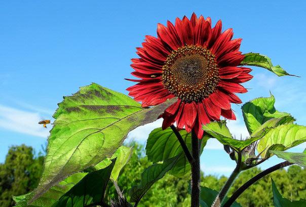 """""""Cơn sốt"""" hoa hướng dương đỏ rực: Chị em săn """"của lạ"""" trồng sau Tết - 1"""
