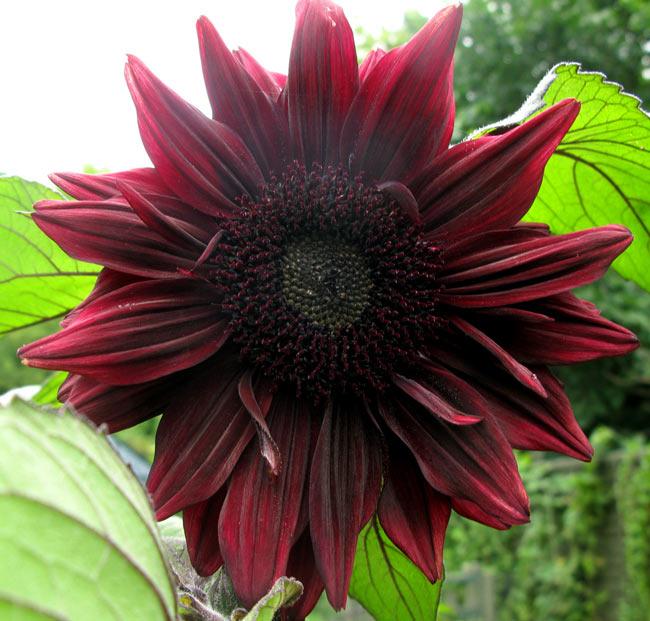 """""""Cơn sốt"""" hoa hướng dương đỏ rực: Chị em săn """"của lạ"""" trồng sau Tết - 4"""