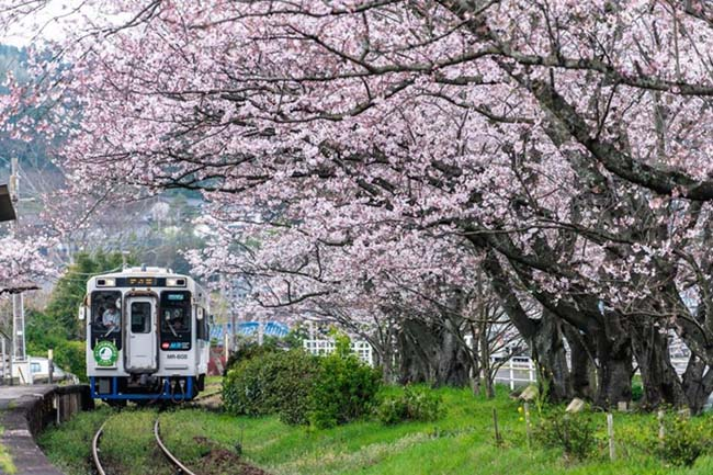 Lịm tim trước đường hầm hoa Anh Đào chỉ xuất hiện 7 ngày trong năm tại Nhật Bản