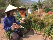 Thị trường - Tiêu dùng - Đồng bào Thái nhổ tỏi tía thơm nức, cứ 10m2 bán được 1 triệu