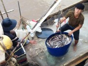 Thị trường - Tiêu dùng - Sau Tết, cá khoai lên giá 105.000 đ/kg, ngư dân lãi 10 triệu/ngày