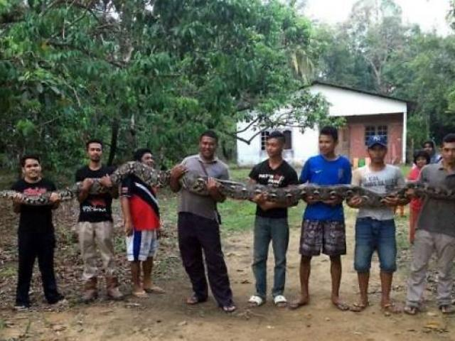 Malaysia: Bắt trăn khổng lồ dài 6m, cần tới 7 người khiêng