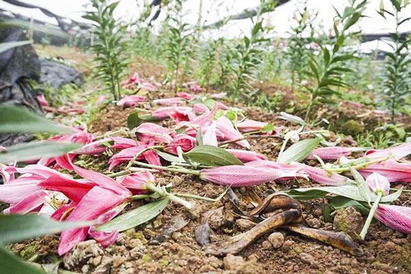 Hoa ly nở 'lệch nhịp', người dân lỗ cả trăm triệu đồng - 1